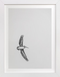Gliding Pelican Over Lake Art Print
