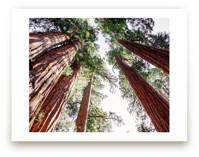 Soaring Sequoias