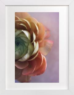 Romantic Ranunculus Art Print
