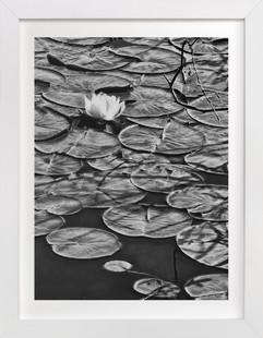 Lily Pad Art Print
