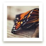 Monarch Study #2 by Stacy Kron