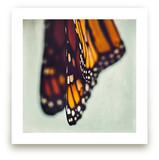 Monarch Study #5