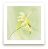 I Dreamed Of A Daisy Wall Art Prints