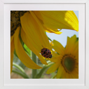 Lady Bug on a Sunflower Petal  Art Print