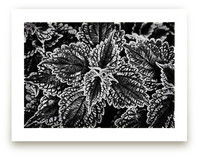 Black & White Leaves by Alexis Arnold