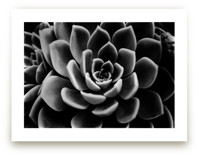 BW Succulent by Alexis Arnold
