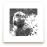 mr BABOON by Gail Schechter