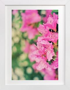 Azaleas  Art Print