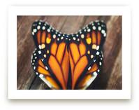 Monarch Study #3 by Stacy Kron