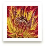 Flaming Dahlia